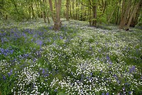 Greater Stitchwort Stellaria holostea and Bluebell, flowering in deciduous woodland, Stour Valley, Wrabness, Essex, England, may