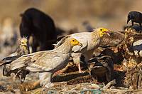 Egyptian Vulture scavenging near Bikaner Rajasthan India