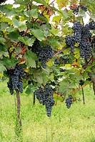 Grape Vitis vinifera bunches of black grapes on vine, Germany