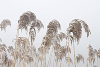 Common Reed Phragmites australis frost covered seedheads in fog, Norfolk, England, winter