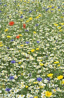 Cornflower, Field marigold, Corn Poppy and Oxeye Daisy on arable farmland, Norfolk, England, june