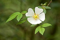 Dog Rose Rosa canina close_up of white flower, Skipwith Common, East Yorkshire, England