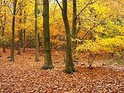 Common Beech Fagus sylvatica saplings and mature trees in autumn woodland, Sussex, England