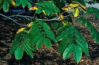 Caucasian Wing_nut Pterocarya fraxinifolia October