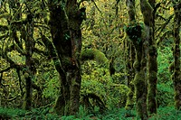 Temperate rainforest, moss covered trees, Quinault Rainforest, Olympic N P , Washington State, U S A
