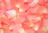 Close_up of petals of pink roses.