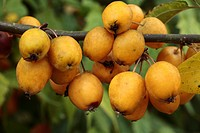 Cultivated Crab Apple Malus x zumi ´Golden Hornet´, close_up of fruit, planted in orchard as pollinator, Shropshire, England