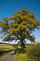 Oak Quercus sp habit, early leaf colour change, growing in hedgerow beside lane, Dorset, England, september