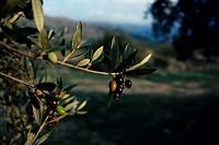 Olive Olea europaea Ripening fruit