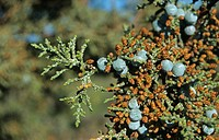 Western Juniper Juniperus occidentalis leaf and fruit, Oregon, U S A