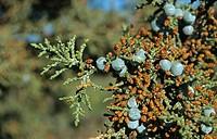 Western Juniper Juniperus occidentalis leaf and fruit, Oregon, U S A