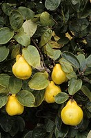 Quince Cydonia oblonga ´Meeches Prolific´, fruit on tree, England