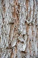 Narrow_leaved Black Peppermint Eucalyptus nicholii close_up of bark, Mt Barker, Western Australia, september