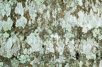 Puerto Rican Royal Palm Roystonea borinqueana close_up of lichen covered bark, Puerto Rico
