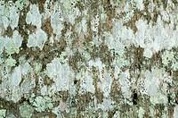 Puerto Rican Royal Palm Roystonea borinqueana close_up of lichen covered bark, Puerto Rico