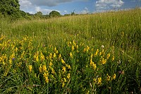Dyer´s Greenweed Genista tinctoria flowering, growing in old hay meadow habitat, Somerset, England