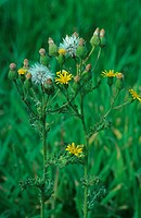 Sticky Grounsel Senecio viscosus flowers and seedheads