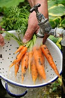 Carrot Daucus carota sativus 'Early Nantes', gardener washing homegrown organic crop under outside tap, Norfolk, England, august