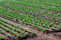 Romaine Lettuce Lactuca sativa var longifolia crop, Germany