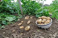 Potato Solanum tuberosum 'Arran Pilot', first early new potatoes, freshly dug, tubers in bowl, England, may