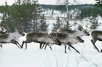 Reindeers running through snowy landscape