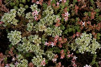 Perennial Knawel Scleranthus perennis flowering, growing with English Stonecrop Sedum anglicum, Pyrenees