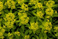 Irish Spurge Euphorbia hyberna flowering