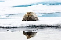 Bearded Seal on icefloe, Erignathus barbatus, Spitsbergen, Norway
