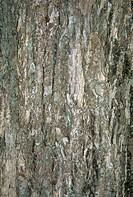 Veitch´s Meliosma Meliosma veitchiorum close_up of bark