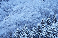 Japan, Kinki, Shiga, Snow covered trees in forest