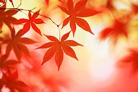 Japan, Red maple leaves on tree, close_up