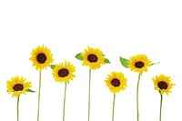 Row of sunflowers on white background, close_up