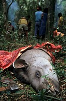 South America Tapir Tapirus terrestris carcass, killed by Ache, Mbaracayu Forest Reserve, Eastern Paraguay