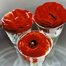 Red Persian buttercups in vases.