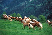 Haflinger horses galopping through a meadow, breeding, South Tyrol, Italy