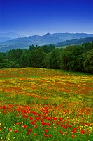 Flower meadow with poppies under blue sky, view to Castiglione d´Orcia, Val d´Orcia, Tuscany, Italy, Europe