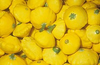 Summer Squash or Patty Pan variety Sunburst Cucurbita pepo