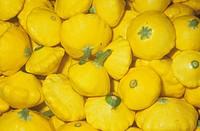 Summer Squash or Patty Pan variety Sunburst Cucurbita pepo