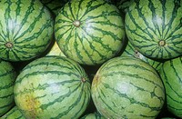 Watermelon variety Bambino Citrullus lanatus native to Tropical Africa.