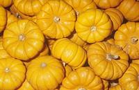 Miniature Pumpkins Cucurbita pepo