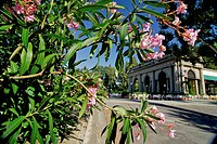 Piazetta Michelangelo, Cafe and blooming oleander in the sunlight, Florence, Tuscany, Italy, Europe