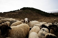 A flock of sheep, Camino de la Virgin, Malpaso, El Hierro, Canary Islands, Spain