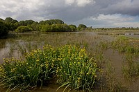 View of wetland habitat, with Yellow Iris Iris pseudacorus flowering, El Rocina, Coto Donana N P , Andalucia, Spain