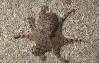 Pygmy Octopus ,Octopus pencillifer, Western Mexico
