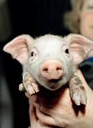 A piglet close_up.