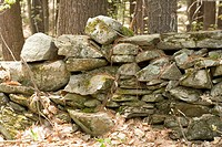 Rock wall of mossy stones removed from cleared forest land for agriculture by colonial New England farmers, USA.