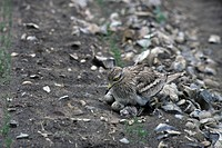 Stone Curlew, Burhinus oedicnemus,with newly hatching chicks