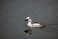 Male, Smew, Mergus, albellus,