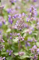 Catmint Nepeta mussinii