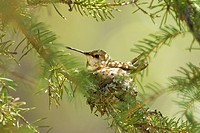 Incubating female rufous hummingbird Selasphorus rufus, Rocky Mountains, Jasper National Park, Alberta, Western Canada